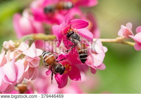 Closeup Honey Bee Collecting Nectar From Pink Flower