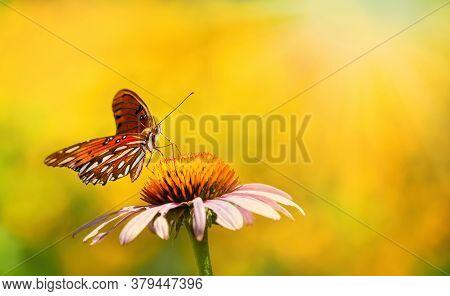 Gulf Fritillary Butterfly (agraulis Vanillae) Feeding On Purple Coneflower In Summer Garden. Bright