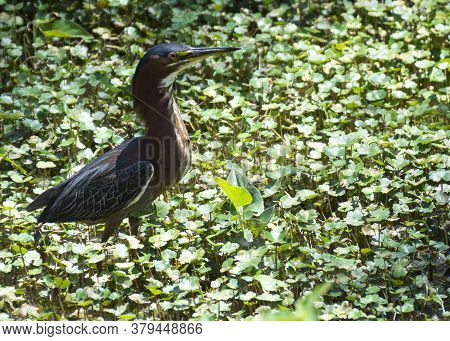 A Green Heron Searches For Food In The Green Marshy Wetlands.