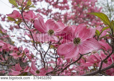 Pink Tree Dogwood Blossoms Close Up At A Public Park