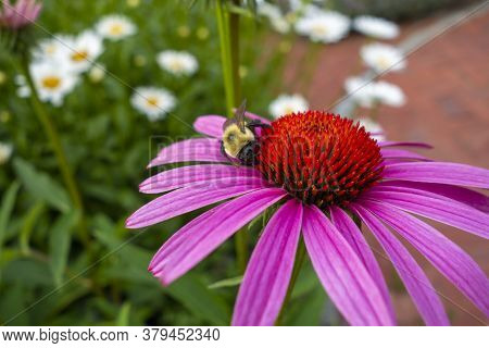 Bumble Bee Feeding On The Pollen Of A Pink Red Echinacea Sensation Pink Coneflower Blossom