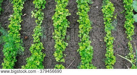 Small Green Raspberry Bushes Grow In Local Vegetable Garden Under Bright Sunlight On Summer Day Clos