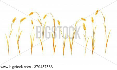 Set Of Wheat Plant Ripe On Side View Isolated, Group Of Agriculture Cultivated Plant For Create Comp
