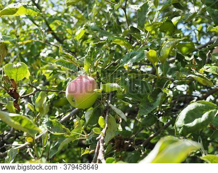 Ripe Fragrant Apple On A Branch On A Sunny Summer Day