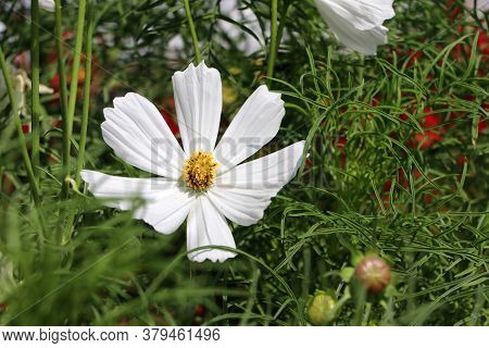 White Cosmos Sulphureus Flower On The Green Tree. It Is Also Known As Sulfur Cosmos And Attract Bird