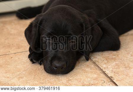 Portrait Of Black Labrador Puppy Close-up.top View Of Black Puppy.black Labrador Puppy Lies On Floor