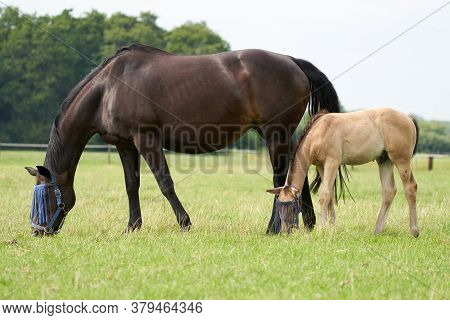 A Valk Color Foal And A Brown Mare In The Field, Wearing A Fly Mask, Pasture, Horse