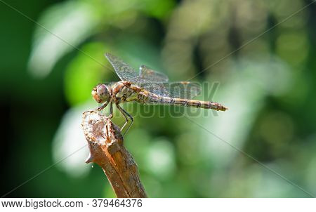 Rare Norfolk Dragonfly On Twig With Out Of Focus Background Alternative Name Norfolk Hawker Or Green