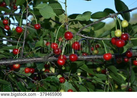 Sour Cherry (prunus Cerasus) In Orchard.red Cherry (cerasus) Stone-fruits On A Branch.