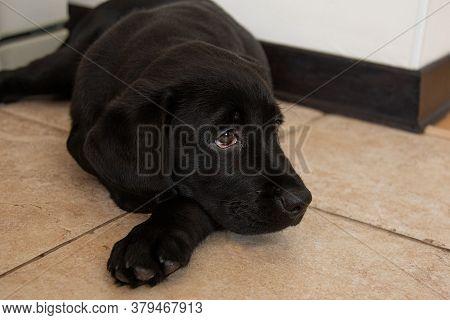 Portrait Of Black Labrador Puppy Close-up.black Labrador Puppy Lies On Floor