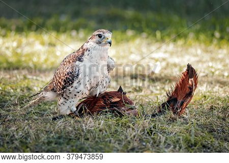 Young Falcon Trains For Falconry With A Special Toy Made Of Bird Feathers