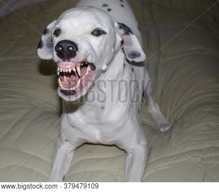 An Angry Dalmatian Showing His Teeth In An Attempt To Intimidate