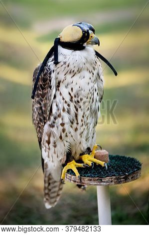 Falcon Wearing Falconry Hood Used The Traditional Hunting