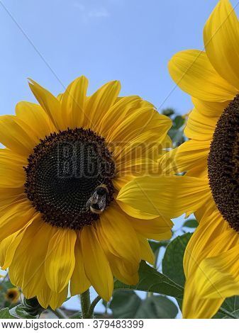 Autumn Sunflowers With Yellow Petals And Black Middle And Bumblebee Against The Blue Sky. High Quali