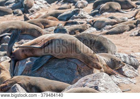 Cape Fur Seals, Arctocephalus Pusillus, At Cape Cross In Namibia