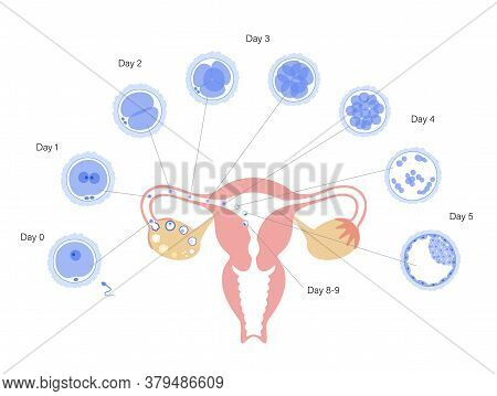 Embryo Development In Uterus. Insemination And Fertalization. Female And Male Egg Cell Icon. Human S