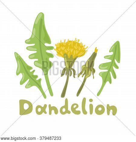 Dandelion Plant With Flowers, Leaves And Buds. Dandelion Salad. Summer Flower Season Yellow Dandelio