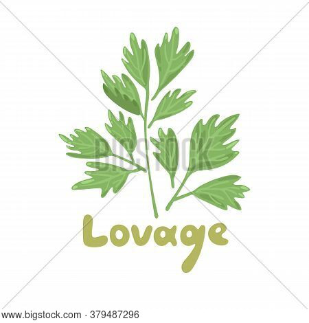 Lovage, Levisticum Officinale. Culinary And Medicinal Herb. Hand Drawn Botanical Vector Illustration
