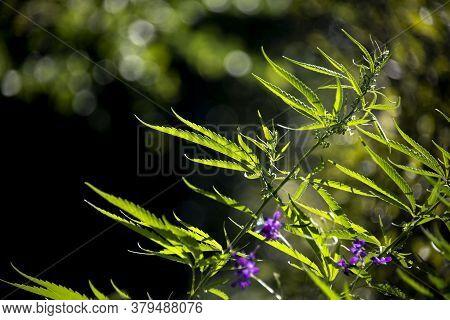 Openwork Sheet Of Hemp. A Branch Of Hemp In The Sun. Medicinal Herb Of The Southern Region.openwork
