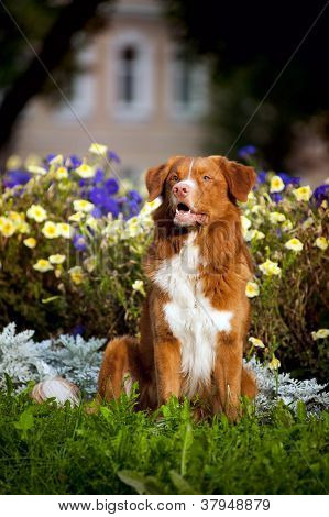 happy golden retriever Toller dog in the colors