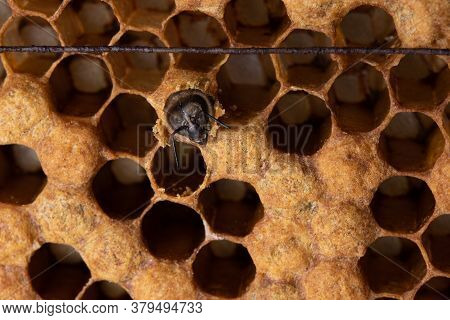 The Birth Of A Honeybee. A Bee Had Chewed Through The Wax Lid Of A Honeycomb Cell. Honeycomb With A
