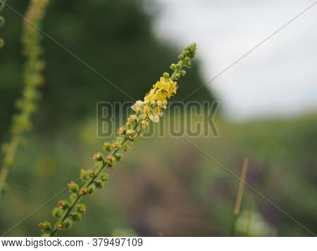 Field With Yellow Flowers Shot With Shallow Depth Of Field With The Aid Of A Monocle.