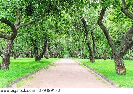 Park Path In The Apple Orchard. Garden Alley With A Perspective Receding Into The Distance.
