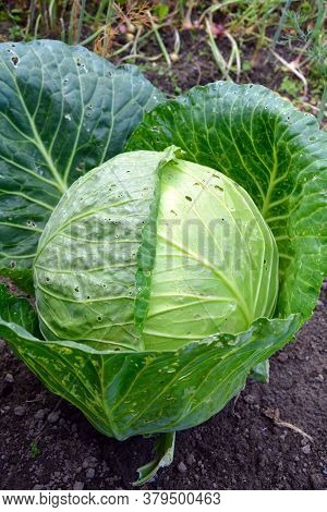 Cabbage Grows In The Garden On The Bed. Juicy Plugs Of The Headed Cabbages. Ripe Vegetables. The Har