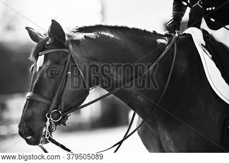 Black-and-white Portrait Of A Beautiful Black Horse With A Bridle On Its Muzzle, Which Is Held By Th