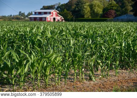 New Corn Crop Growing On The Farm. A Scenic Red Barn Behind A Field Of Young Corn.