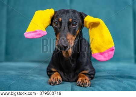 Funny Black And Tan Dachshund Dog With Bright Yellow Colored Socks For Pets Or Children On Ears Is L