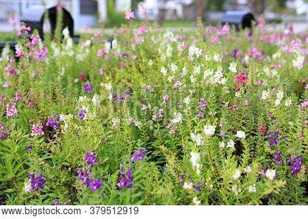 Beautiful For Get Me Not Flower In Summer Garden