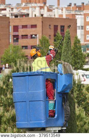 Urban Gardener Pruning A Cypress With A Crane. Seasonal Maintenance