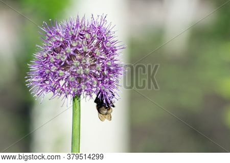 A Furry Bumblebee In A Funny Angle Collects Nectar From A Leek Inflorescence Against The Background