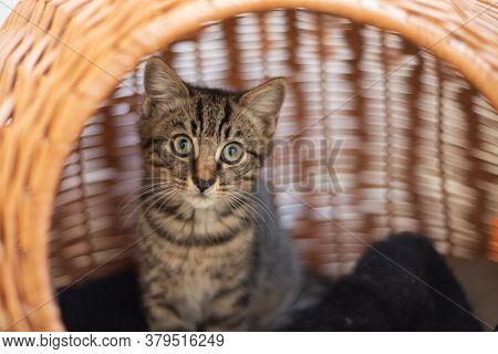 Young british domestic cat in cat bed