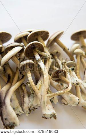 Fresh Psilocybin Shroom. Hallucinogenic Psychedelic Drug. Magic Shroom. Fungi Hallucinogen.