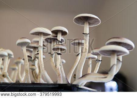 Medical Research Of Psilocybin . Fresh Psilocybin Shroom. Fungi Hallucinogen. Hallucinogenic Psyched