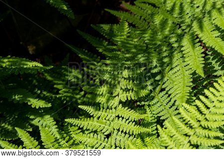 The Leaves Of Green Ferns In The Forest Are Seen From Above, With Shadows Of Other Fern Leaves Cast