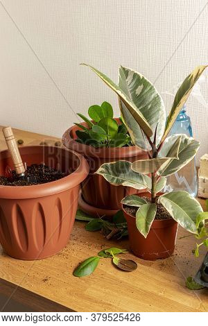 Transplanting Houseplants. Home Gardening. Plant Care. Three Brown Pots With Ficus's On A Wooden Tab