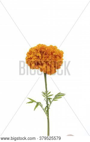 Detail Of Yellow Flower Of Cempazuchitl For The Day Of The Dead In Mexico On White Background.