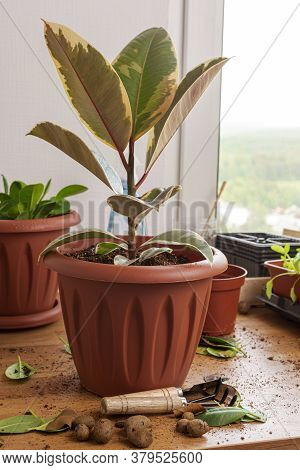 Transplanting Houseplants. Home Gardening. Plant Care. Transplanted Ficus In A New Pot. All Around A