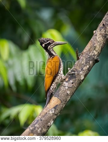 A Beautiful Female Greater Flameback Woodpecker (chrysocolaptes Guttacristatus), Perched On The Trun