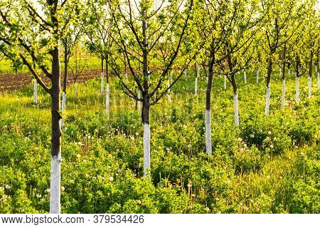 Beautiful Sunset Lights Over The Orchard Of Trees With Painted Trunks In White.