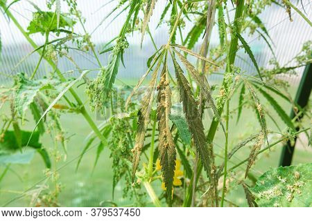 Hemp Plants In The Fields Before Harvesting, Picking A Seed, Close Up. Selective Focus