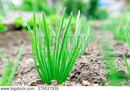 Onion Close-up. Green Onions Growing On A Bed In The Soil. Growing Vegetables On An Organic Farm