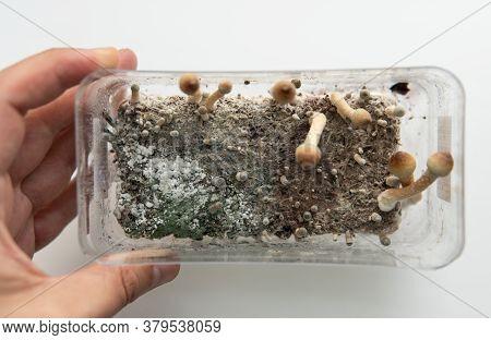 .fungal Mycelium Diseases, Problems With Growing Mushrooms, Psychedelic Mushrooms