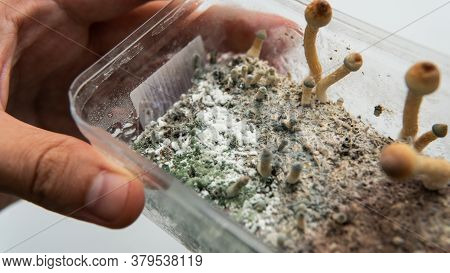Diseases Of The Mycelium Of Fungi During The Cultivation Of Mushroom Culture