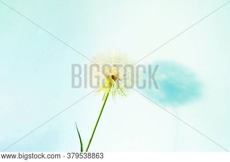 Creative Summer Concept With White Dandelion Inflorescences And Shadow On Blue Background.
