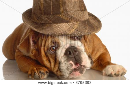 english bulldog wearing plaid fedora isolated on white background poster
