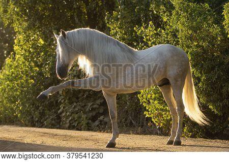 Beautiful Portrait Of A Spanish Horse Stallion Doing Spanish Walk At Sunset